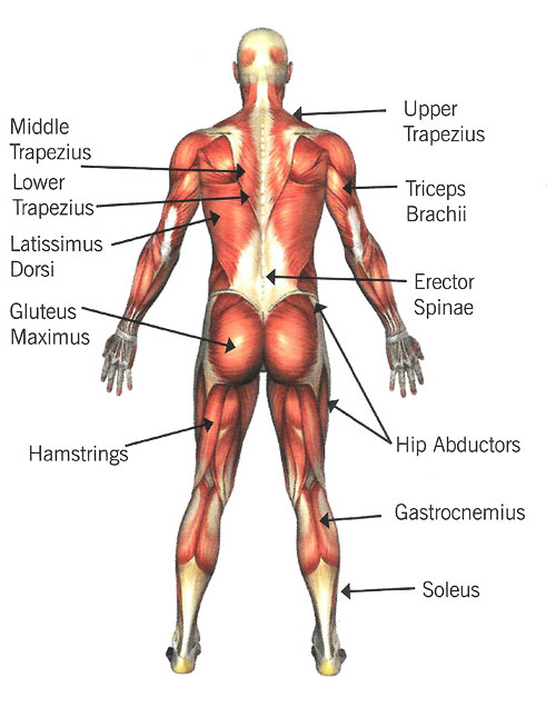 Human Body Anterior And Posterior Skeletal Muscles