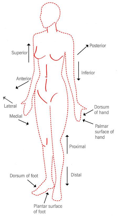 Human Anatomical Terminologytermsmedicalpositions High