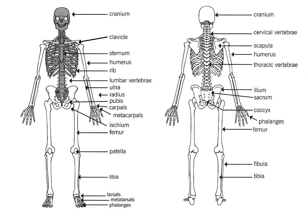 axial appendicular skeleton human number of bones high